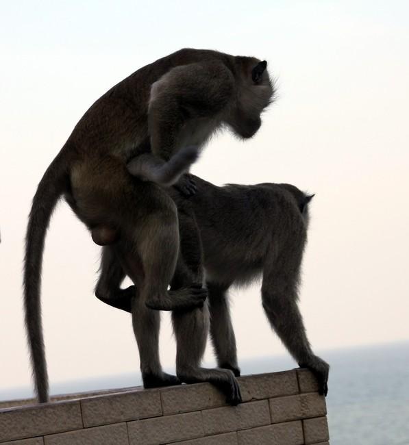 обезьяньий секс
