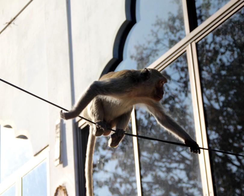 обезьяна на электропроводе