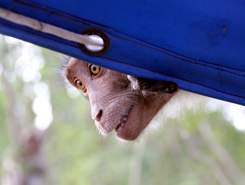 Белые зубы обезьяны