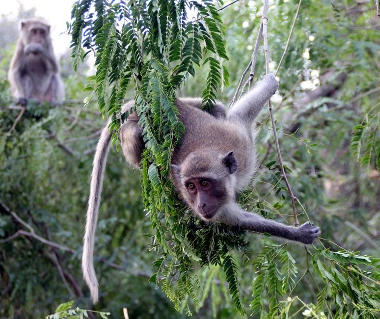 ныряющие обезьяны на дереве