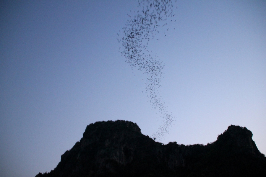 Рой летучих мышей вылетает из пещеры около Ча-Ама