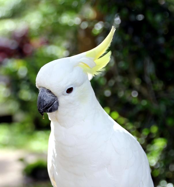 Белый попугай на Самуи в Таиланде