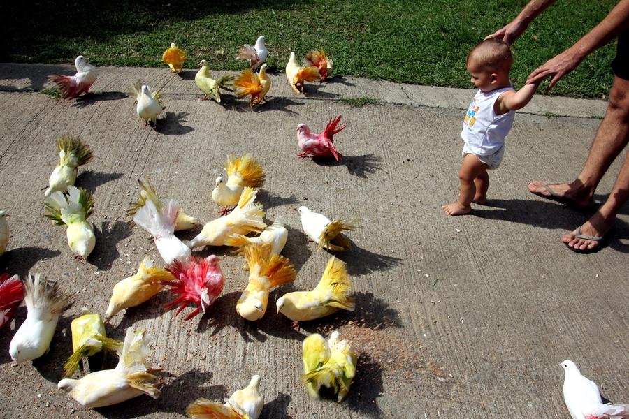 Ребенок смотрит на разноцветных голубей в Paradise Park Farm