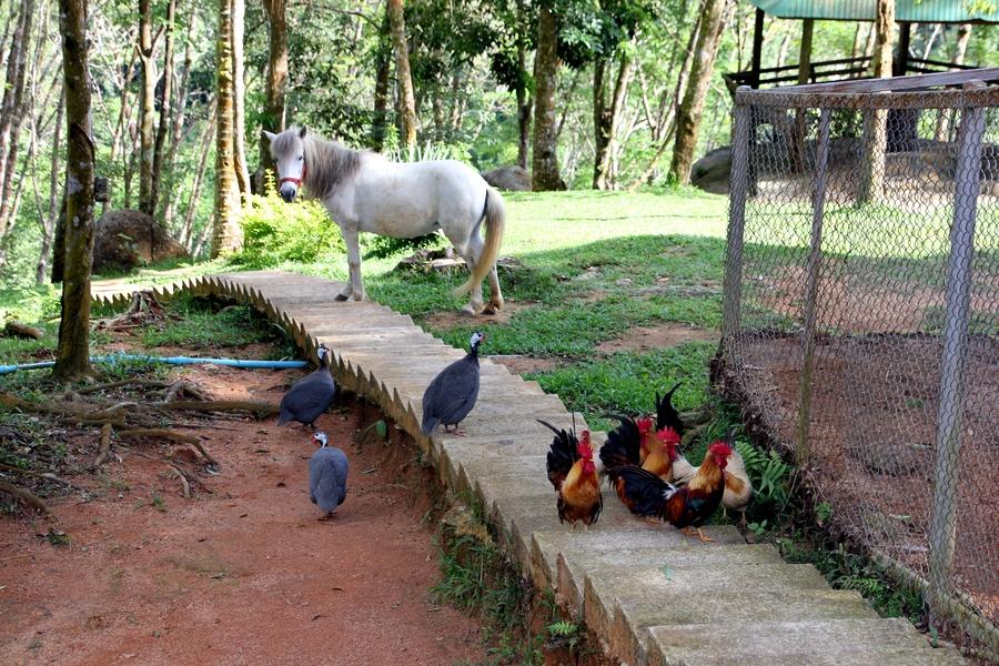 Лошадка и петухи в Paradise Park Farm