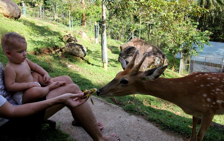 Ребенок и папа кормят оленя с рук бананом