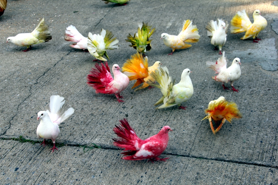 Разноцветные голуби в Paradise Park Farm