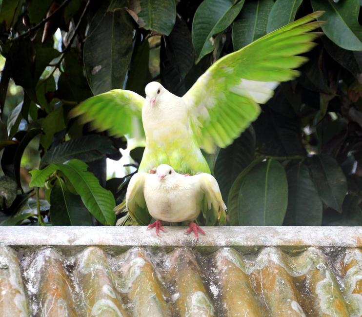 Разноцветные голуби размножаются