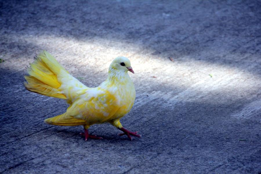 Разноцветные голуби на Самуи