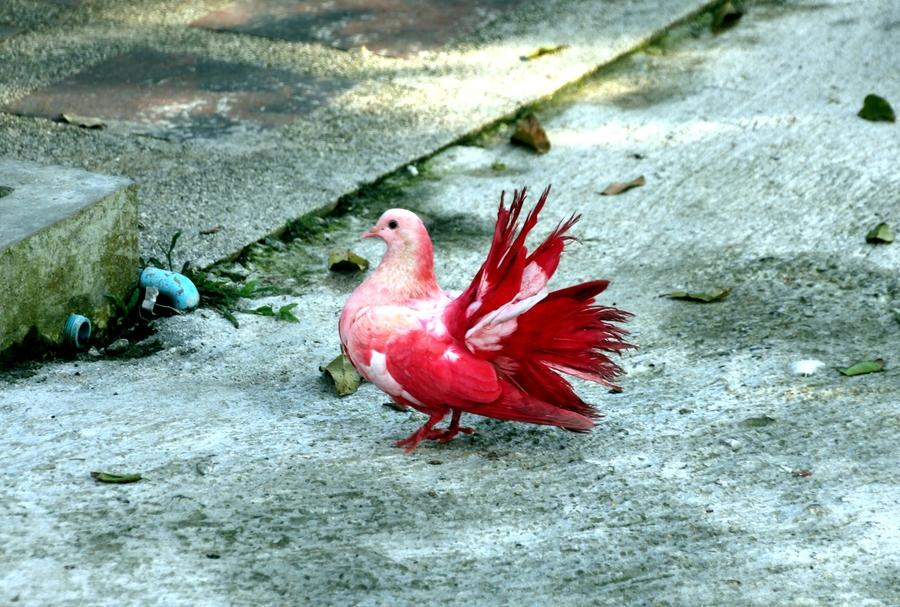 Цветные голуби в Тайланде