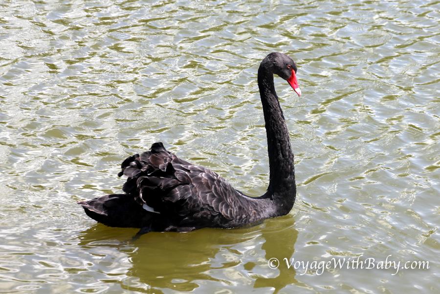 Черный лебедь в Беларуси
