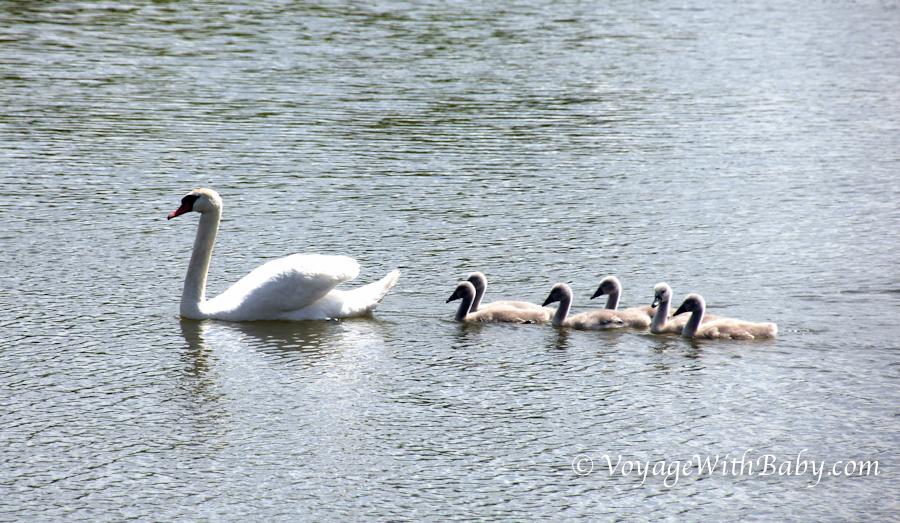 Лебеди в Беларуси