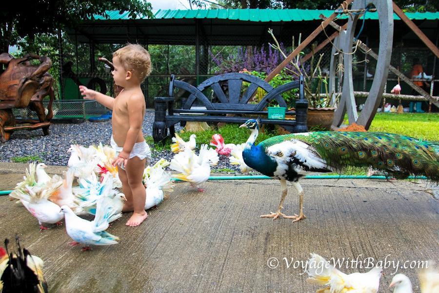 Разноцветные голуби и павлин в Paradise Park Farm на Самуи