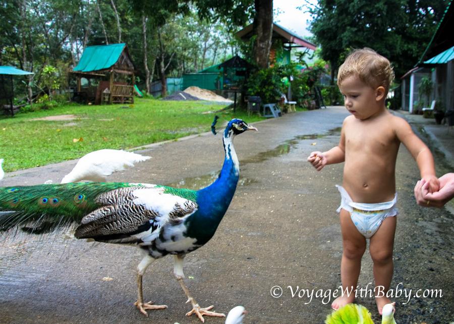 Маленький ребенок и павлин