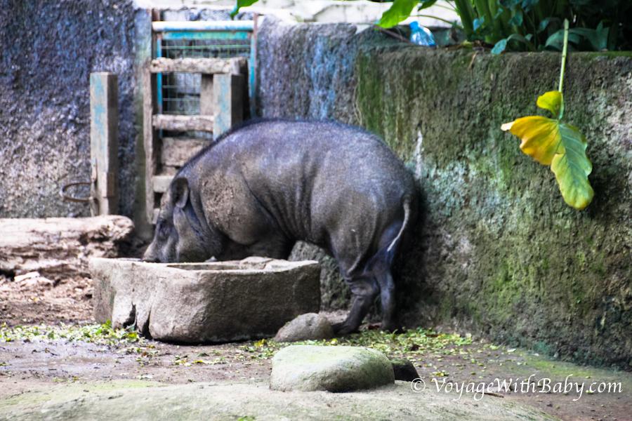 Дикий кабан на Бали в зоопарке