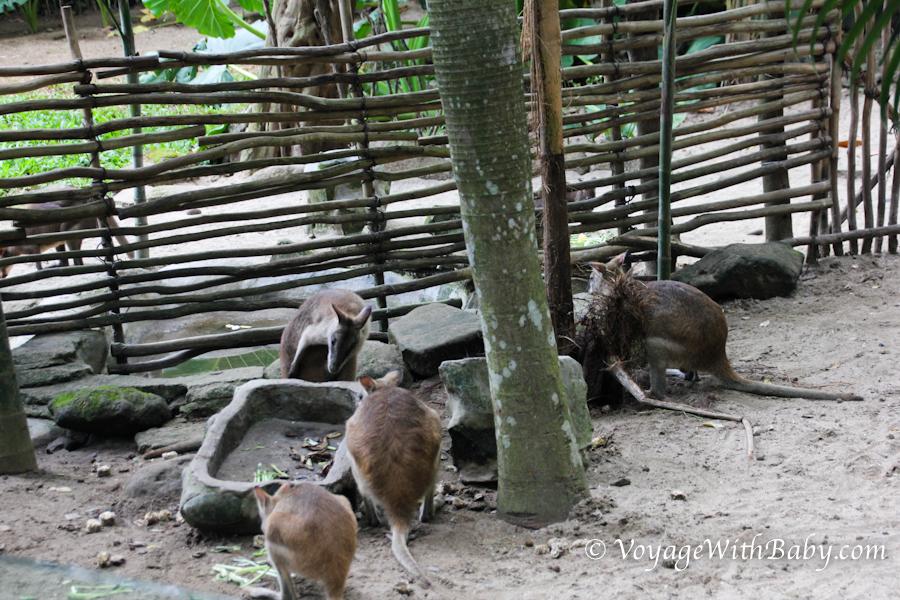 Кенгуру в зоопарке на Бали