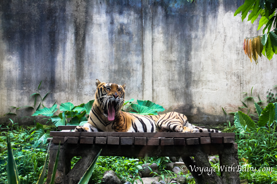 Тигр в Bali Zoo