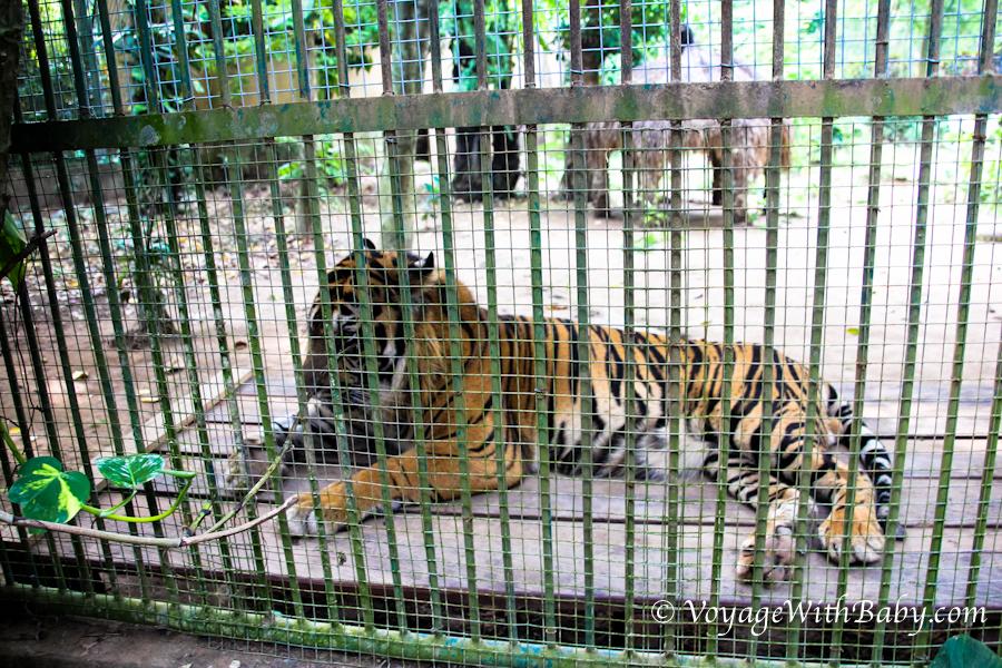 Тигр в зоопарке на Бали