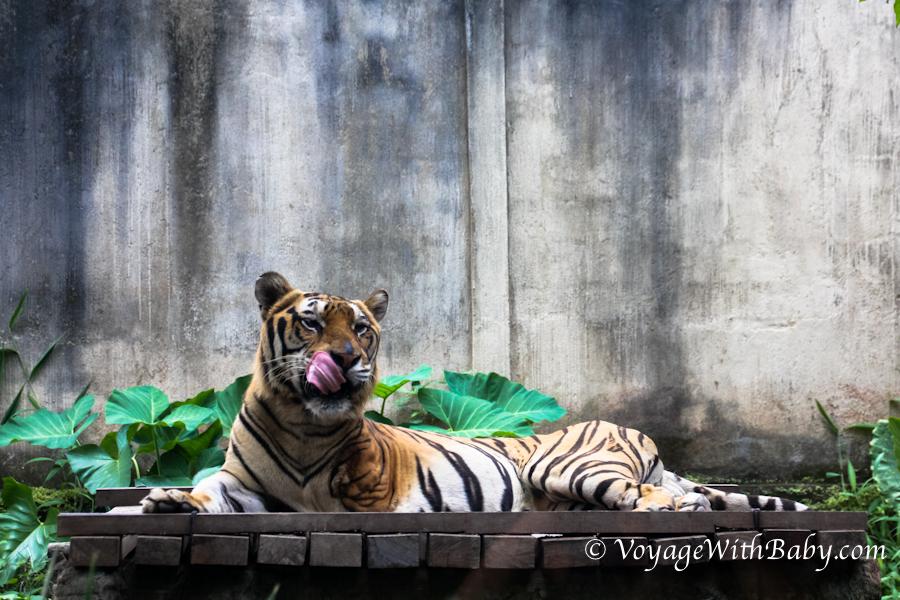 Тигр в балийском зоопарке (облизывается)