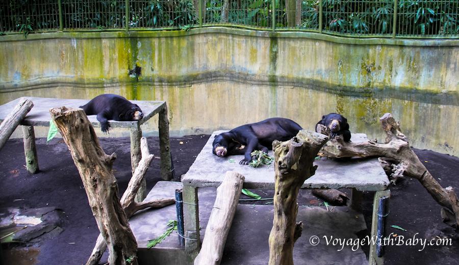 Малайский (солнечный) медведь - бируанг