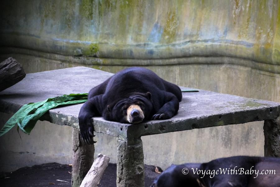 Малайский (солнечный) медведь - бируанг на Бали