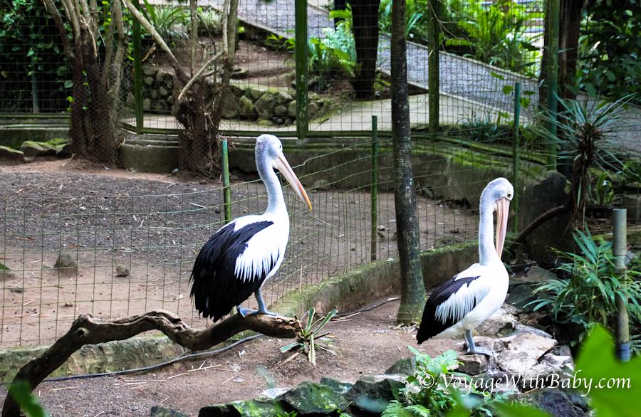 Пеликаны в зоопарке на Бали