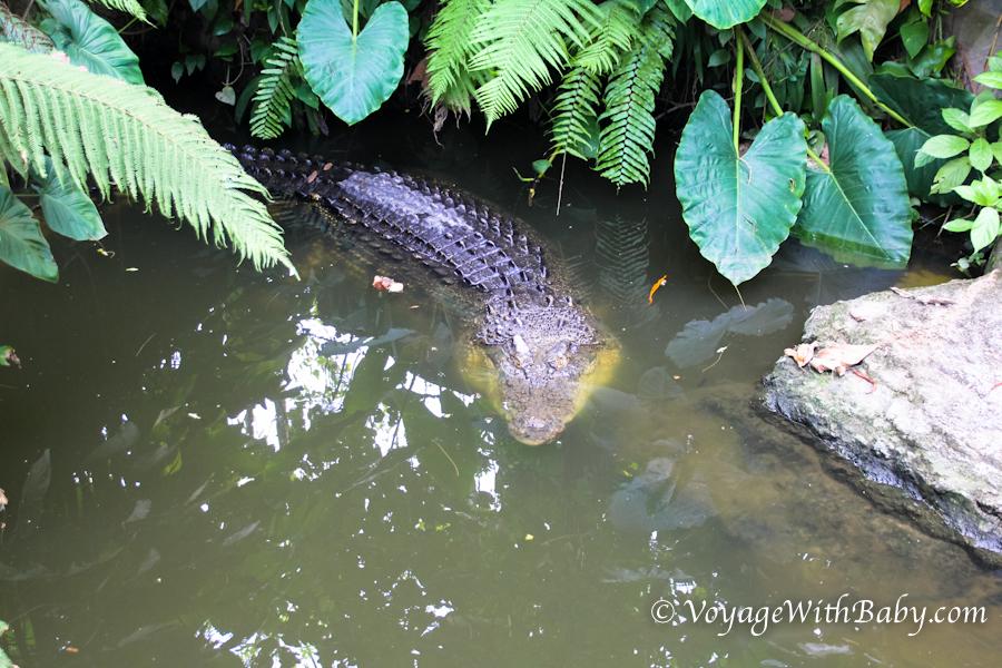 Нильский крокодил в зоопарке на Бали