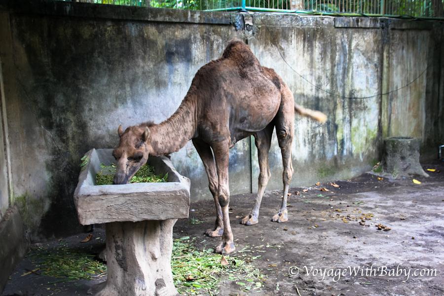 Верблюд в зоопарке на Бали