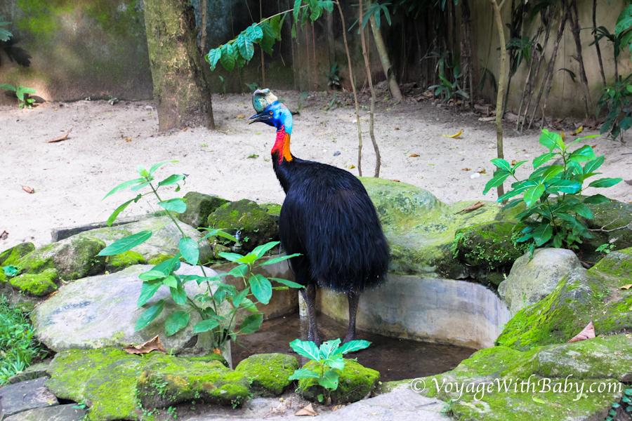 Шлемоносный казуар в балийском зоопарке