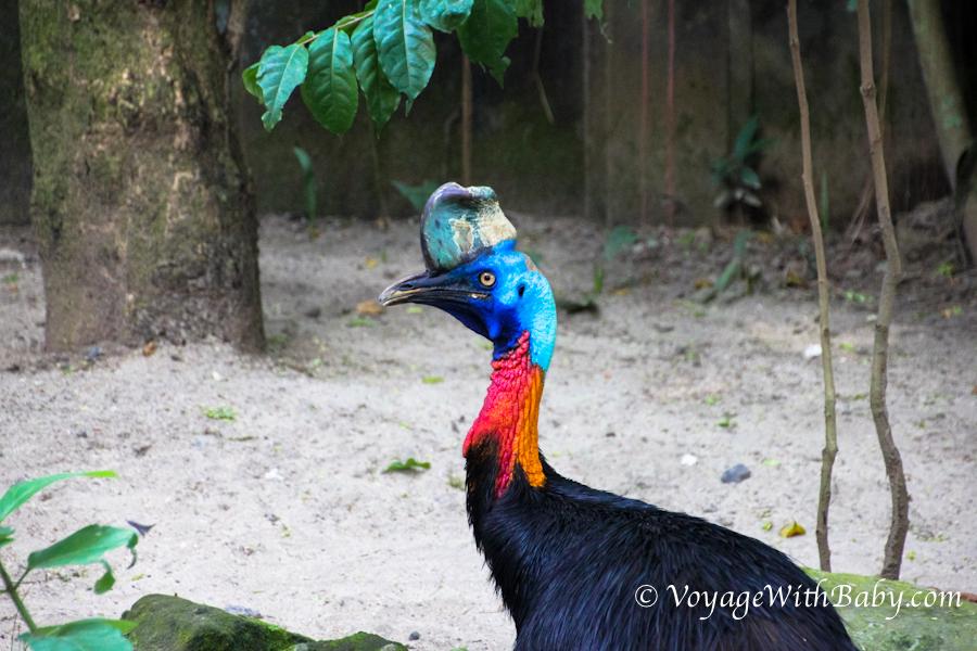 Шлемоносный казуар в зоопарке на Бали