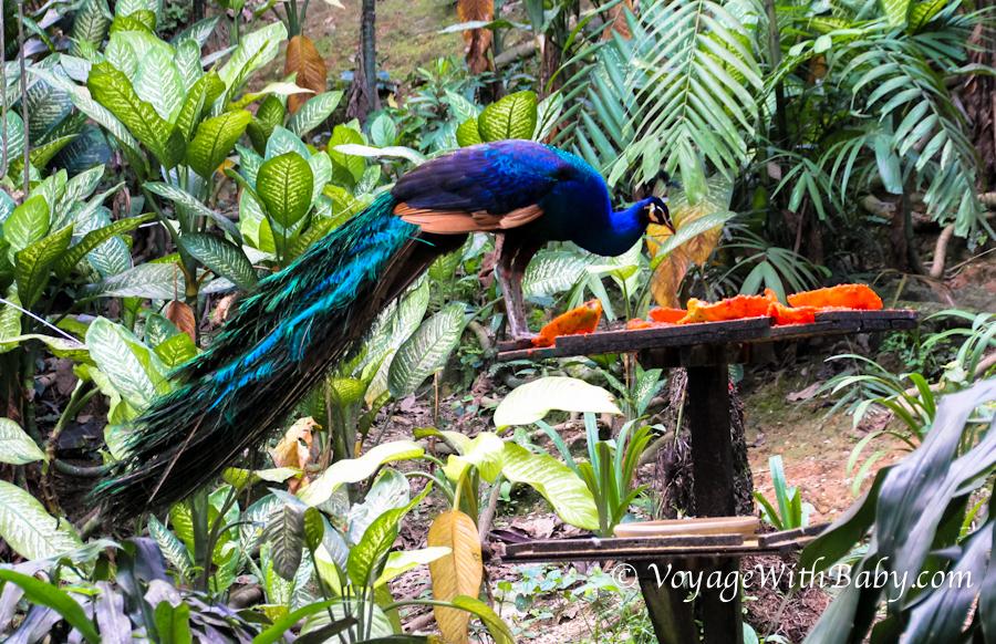 Парк Птиц в Куала Лумпуре - папайя для птиц