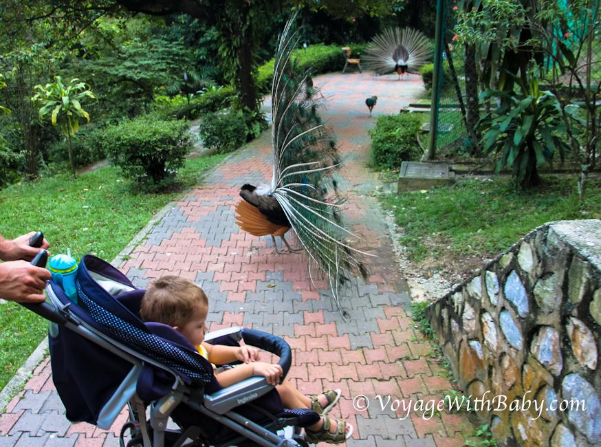 Парк Птиц в Куала Лумпуре - павлины