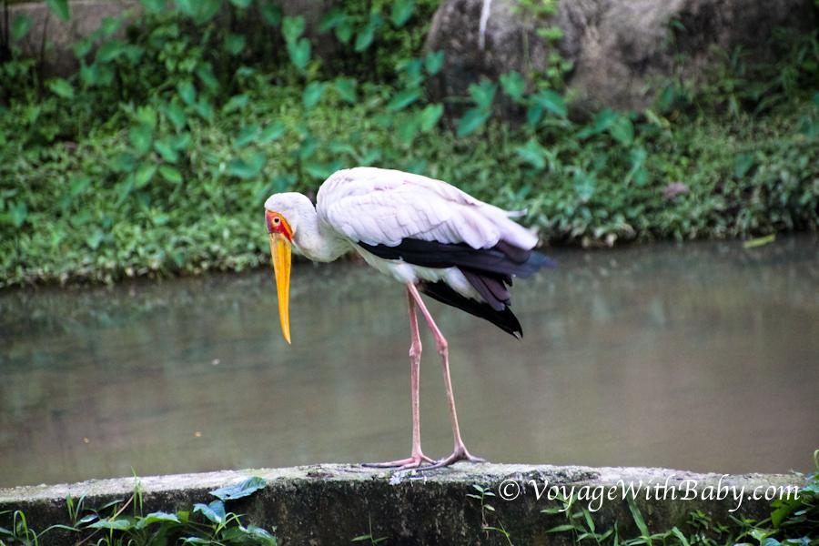 Парк Птиц в Куала Лумпуре - аист-клювач