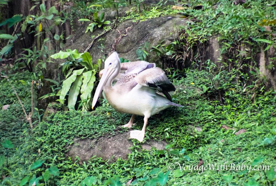 Парк Птиц в Куала Лумпуре - пеликан