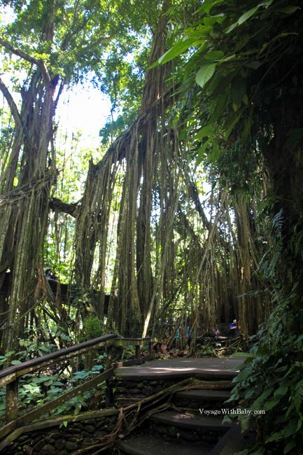 Огромное дерево со свисающими корнями в лесу обезьян на Бали