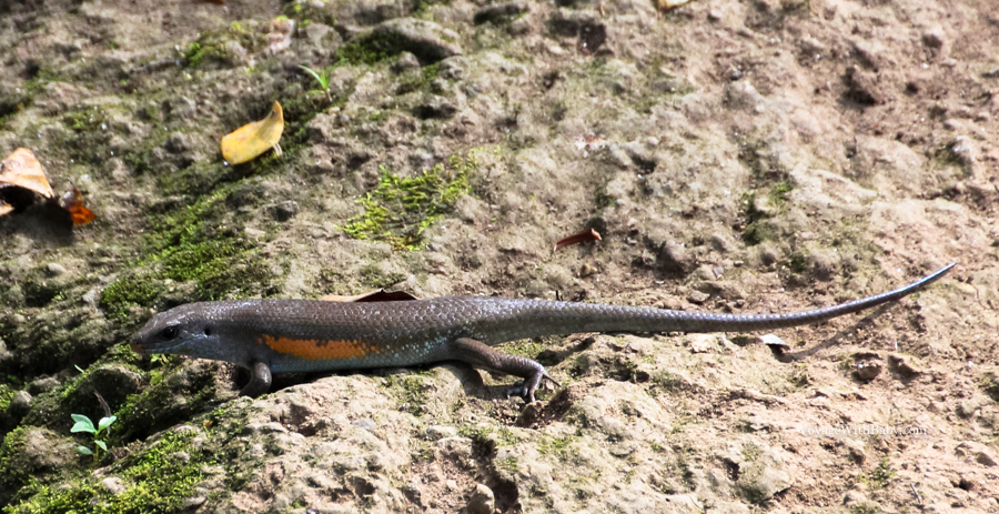 Ящер на Бали