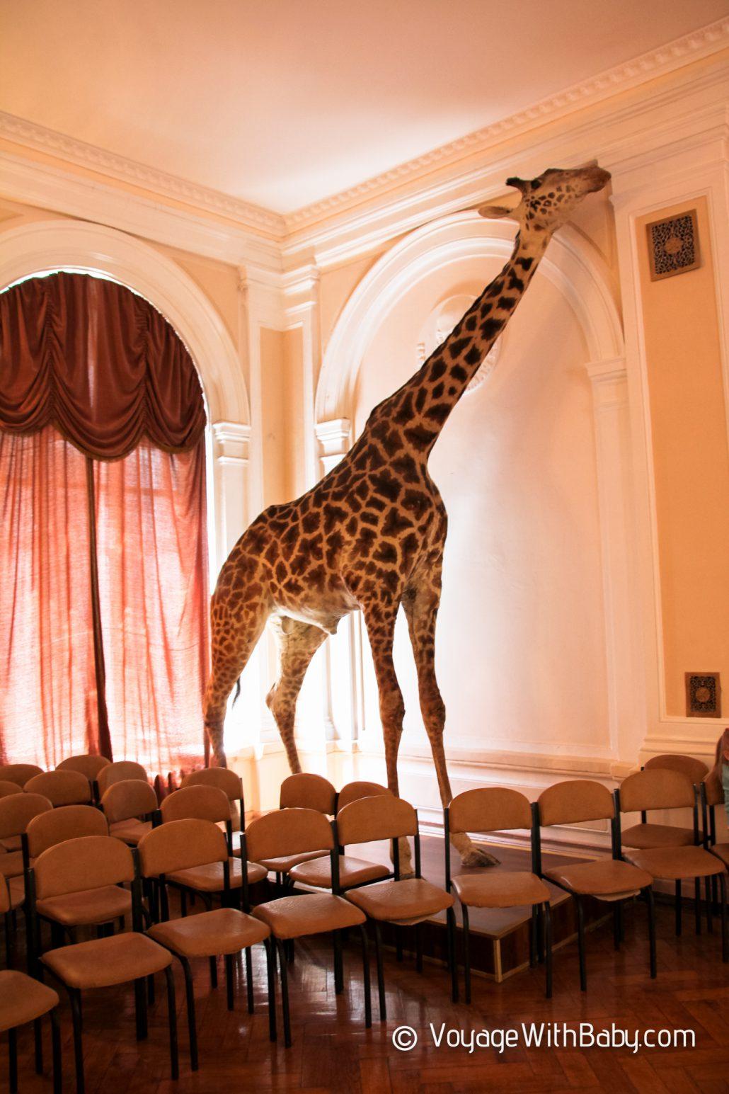 Музей природы в Харькове - жираф